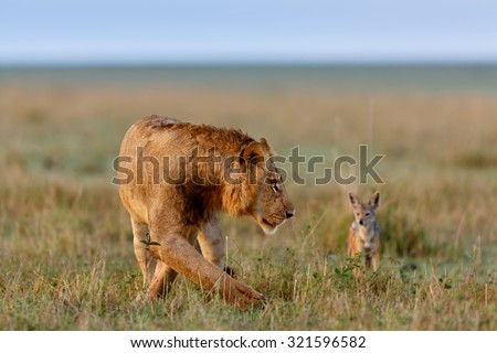 Lion with Jackel in the background in Masai Mara, Kenya - stock photo
