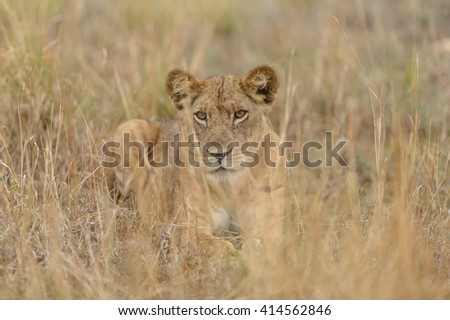 Lion - You can't See Me (Panthera leo)