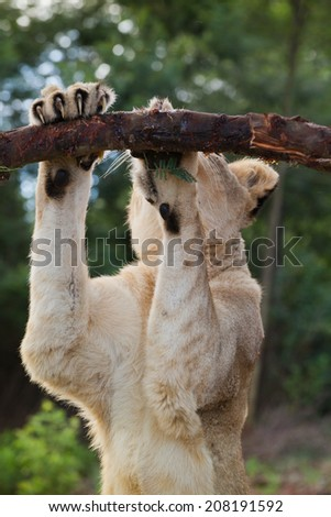 Liones sharpning her nails - stock photo