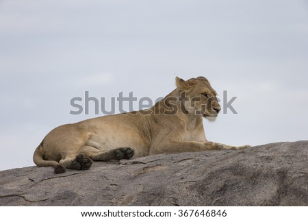 Lioness and cubs on granite outcrop in Serengeti Tanzania