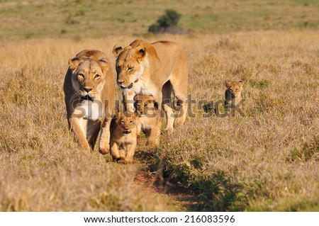Lioness and cubs walking in the savannah