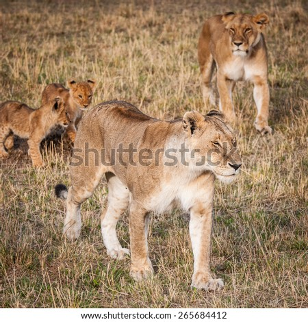 Lioness and her little lion cubs in Kenya - stock photo