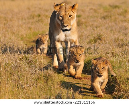 Lioness and three cubs walking on a path   - stock photo