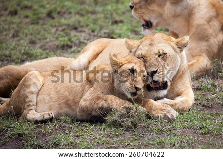 Lioness and young rubbing heads, Serengeti,Tanzania, East Africa  - stock photo
