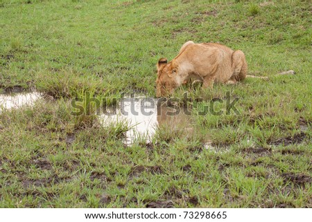 Lioness drinking from a muddy puddle in Kenya's Masai Mara national park - stock photo