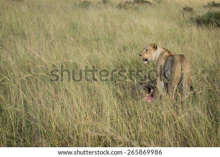 Lioness eating a wildebeest in tall grass on South African plain