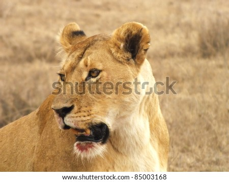 lioness head close-up with blood on her mouth