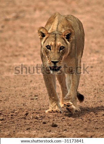 Lioness head on - stock photo