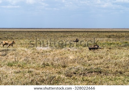 Lioness hunting a common warthog and baby. - stock photo