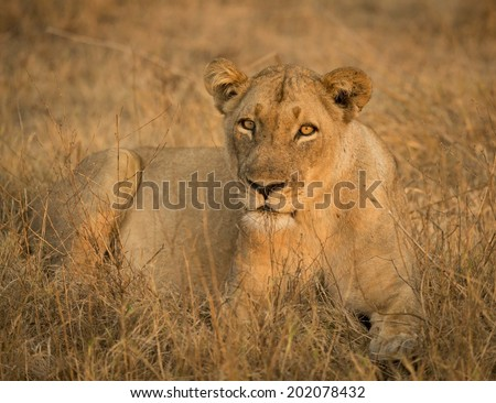 Lioness in Golden Light