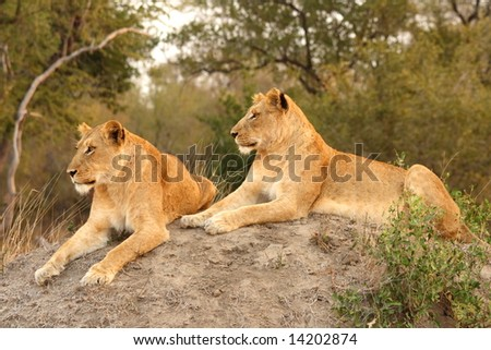 Lioness in Sabi Sands Reserve, South Africa - stock photo