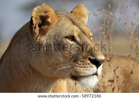 Lioness in soft morning light, Serengeti, Tanzania - stock photo
