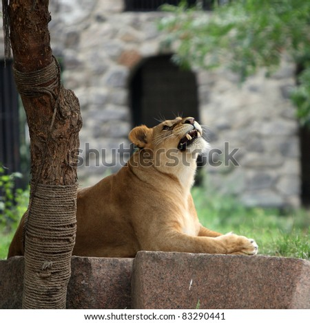 Lioness in the Kiev zoo