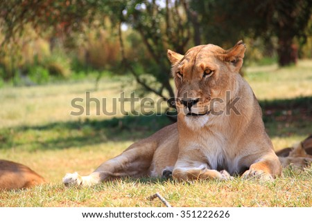 Lioness in the Lion Park.  Female lion resting and watching other wildlife. Johannesburg, South Africa - stock photo
