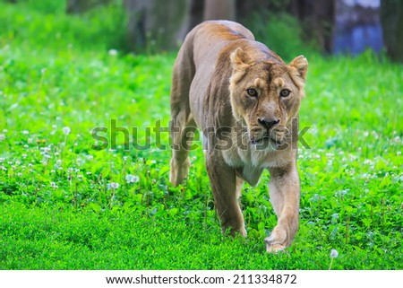 lioness is coming - stock photo