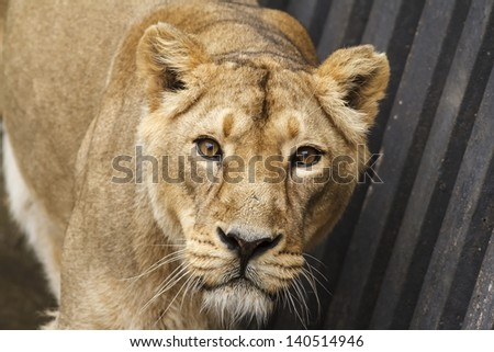 lioness is looking to you - stock photo
