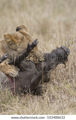 Lioness killing a warthog in the Masai Mara - stock photo
