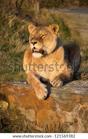 lioness laid on a rock in the golden hour/Lioness