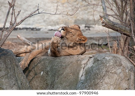 lioness licking its paw - stock photo