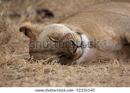 Lioness, Lion female Serengeti  National Park, Tanzania, Africa - stock photo
