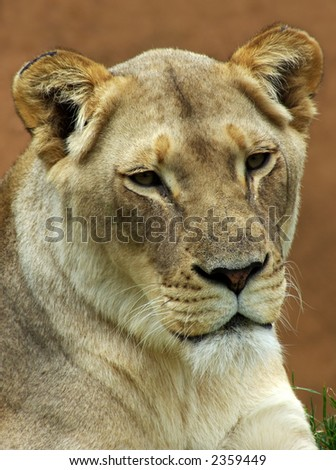 Lioness looking down.