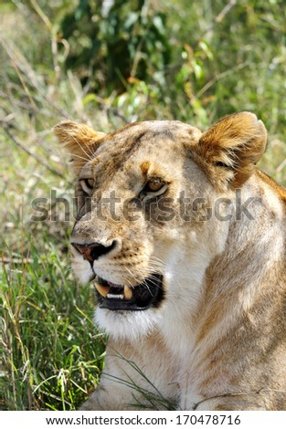 Lioness looking to the camera - stock photo