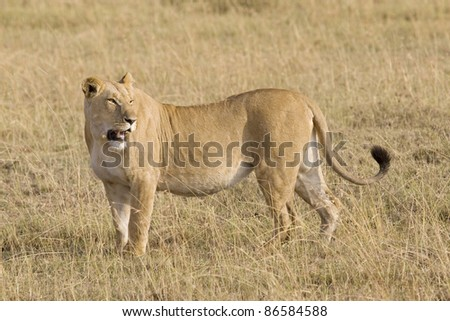 Lioness looks at the plains for her young cubs in the Masai Mara. - stock photo