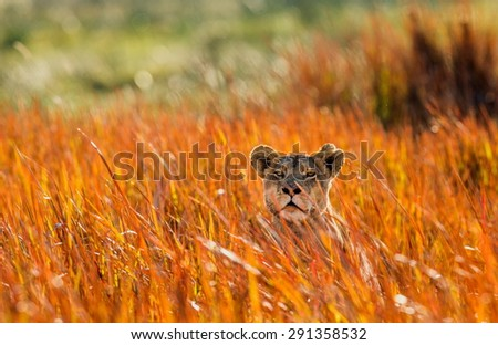 Lioness lying in the grass. Lioness in an ambush. An excellent illustration. Botswana. - stock photo