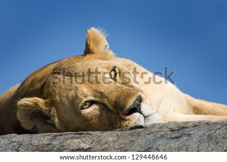 Lioness lying on a Kopje - stock photo