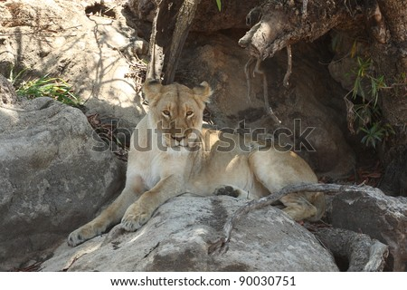 Lioness mid-day rest - stock photo