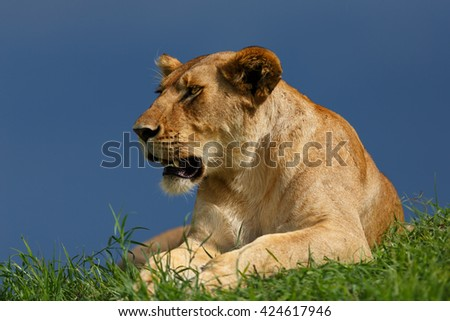 Lioness of Rongai Pride in Masai Mara, Kenya - stock photo