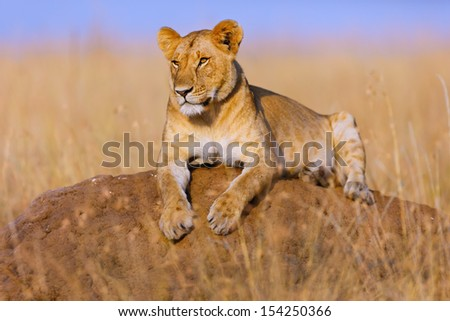 Lioness on termite hill in Masai Mara, Kenya - stock photo