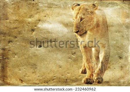 Lioness, Panthera leo, isolated on textured grunge background - stock photo