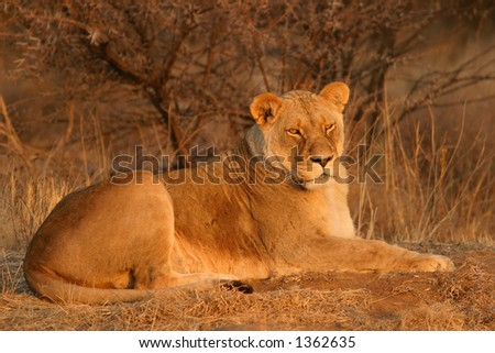 Lioness (Panthera leo) lying down in early morning light, South Africa - stock photo