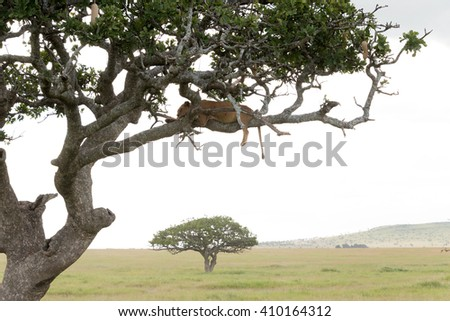 lioness resting on branch of tree in serengeti national park, tanzania - stock photo