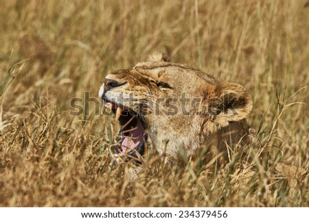 lioness roars in the tall grass of the savannah - stock photo