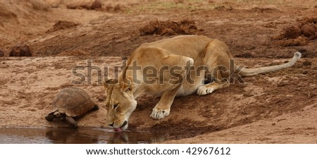 Lioness shares a drink with a Leopard Tortoise. - stock photo