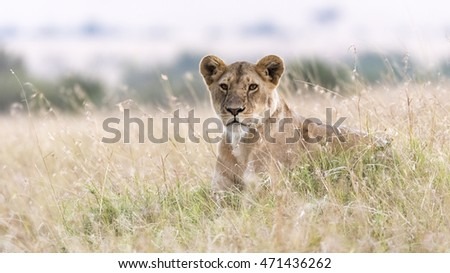 Lioness sitting in savannah
