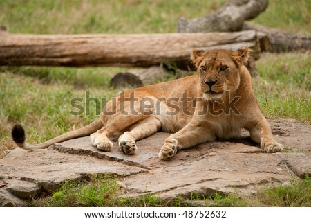 lioness sitting on rock
