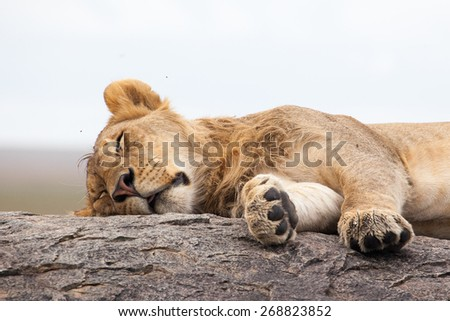 Lioness sleeping on the rock, Serengeti NP, Tanzania, Africa  - stock photo