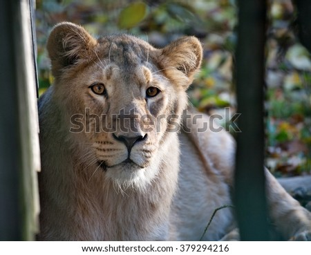 lioness snout closeup front view in outdoor zoo - stock photo