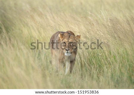 Lioness stalking in the grass - stock photo