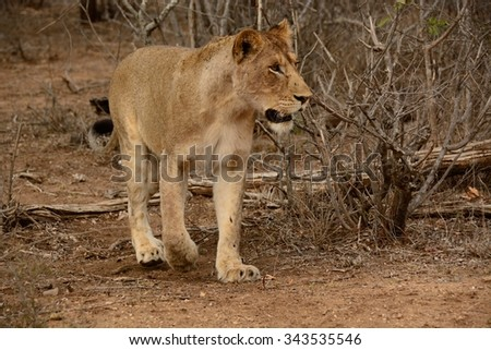 Lioness stalking prey in the dry winter bush - stock photo