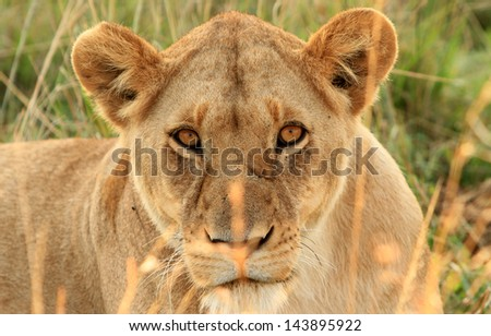 Lioness staring through the grass in the Masai Mara - stock photo