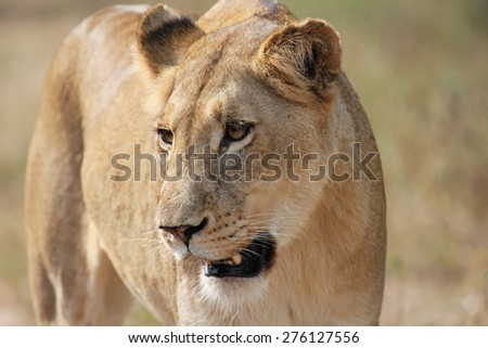 Lioness staring to one side - stock photo