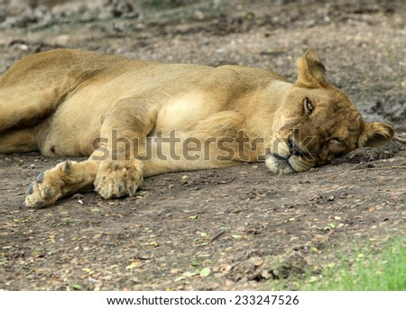 Lioness taking a short nap - stock photo