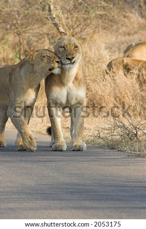 Lioness trying to show some affection to another in the pride - stock photo