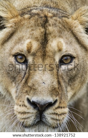 lioness very close up, face to face - stock photo