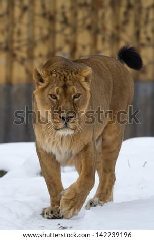 lioness walking snow - stock photo