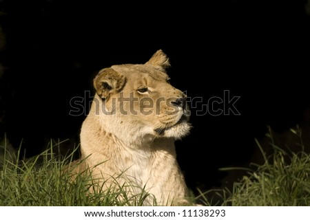 Lioness watching and waiting in the grass and trying to catch a scent on the wind